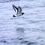 Sea bird. An Oyster Catcher sea bird flying over the ocean Royalty Free Stock Photo