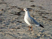 Sea bird. At sea beach Royalty Free Stock Photography