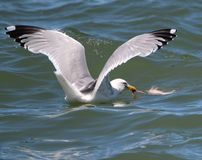 A Sea Bird Catches its Prey. Royalty Free Stock Photo