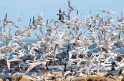 Free Sea Bird Chaos Royalty Free Stock Photos - 16205608