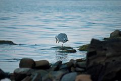 Sea bird cleans its head. Summertime photo of a sea bird, that standing on one leg and cleaning its head with the other one Stock Image