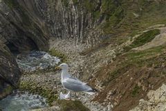 Sea bird on a cliff juristic coast Dorset Royalty Free Stock Photography