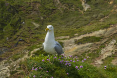 Sea bird on a cliff juristic coast Dorset Stock Photo