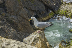 Sea bird on a cliff juristic coast Dorset Royalty Free Stock Image