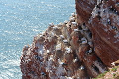 Sea bird colony. At a sandstone cliff at Heligoland island in the North Sea Royalty Free Stock Photo