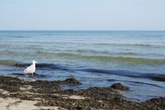 Sea bird on dirty beach Royalty Free Stock Photo