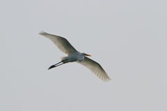 Sea bird of  egret Royalty Free Stock Photo