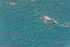 Sea bird with fish  Royalty Free Stock Photos