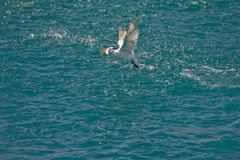 Sea bird flying with fish Stock Photos