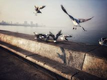 Sea Bird. Flying for food together morning time Stock Image