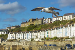 Sea bird flying over Porthlevan fishing port. And clock tower at  lizard Cornwall Stock Image