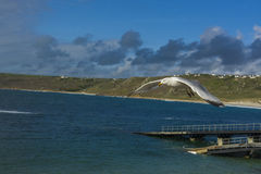 Sea bird flying over sennen cove breakwater Stock Photo