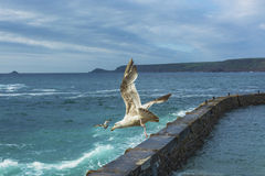 Sea bird flying over sennen cove breakwater Royalty Free Stock Photography