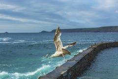 Sea bird flying over sennen cove breakwater Royalty Free Stock Photography