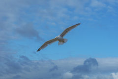 Sea bird flying over sennen cove breakwater Stock Photography