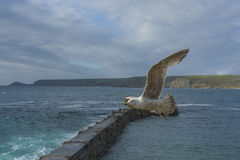 Sea bird flying over sennen cove breakwater Stock Photography