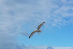 Sea bird flying over sennen cove breakwater Royalty Free Stock Images