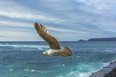 Sea bird flying over sennen cove breakwater Royalty Free Stock Image