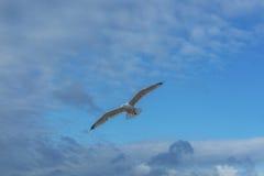 Sea bird flying over sennen cove breakwater Stock Image