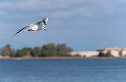 Sea bird flying. Over water looking for fish Stock Photos