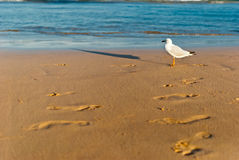 Sea bird on a foreshore. Sea bird walking on a foreshore Stock Image