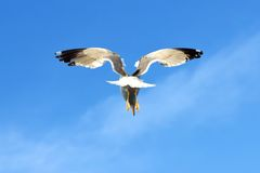Sea bird. Sea gull in the air with wings wide open in-front of the blue sky Royalty Free Stock Photography