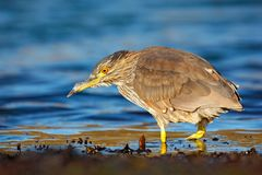 Sea bird. Heron sitting on the rock cost. Heron sitting on the stone. Night heron, Nycticorax nycticorax, grey water bird sitting. In water Royalty Free Stock Images