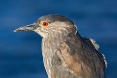 Sea bird. Heron sitting on the rock cost. Heron sitting on the stone. Night heron, Nycticorax nycticorax, grey water bird sitting. Sea bird. Heron sitting on the Royalty Free Stock Photo