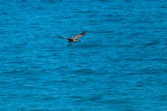 Sea bird looking for food stock photography