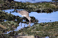 Sea bird looking for worms Stock Images