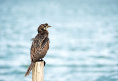 Sea bird (Microcarbo niger) standing on the pole Royalty Free Stock Images