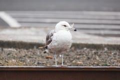 Sea Bird on the Oregon Coast Royalty Free Stock Image