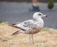 Sea Bird on the Oregon Coast Stock Photography