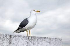 Sea bird Royalty Free Stock Photo