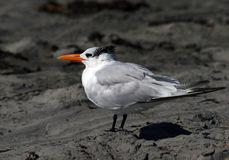 Sea Bird - A Royal Tern Royalty Free Stock Images