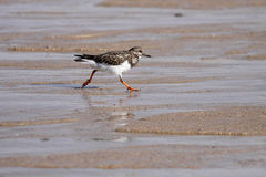 Sea bird running. Detailed image of a beautiful sea bird - Ruddy Turnstone - running during low tide in a seaside in the north of Portugal Stock Image