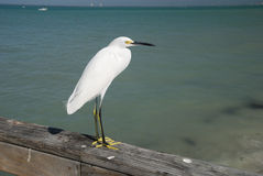 Sea Bird on Sanibel Island Royalty Free Stock Photo