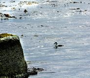 Sea Bird. In seaweed covered water Royalty Free Stock Photography