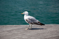 Sea bird seagull Royalty Free Stock Photography