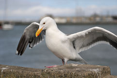 Sea bird seagull. Closeup. pier royalty free stock images