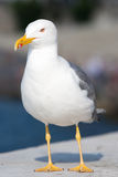 Sea bird seagull Stock Photography