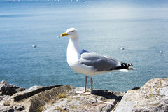 Sea bird seagull Standing. Stock Images
