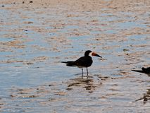 Sea bird in shallow sea. Sea bird stood in sea on beach with waves in florids Stock Image
