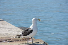 Sea bird. Single seagull looking over ocean royalty free stock image