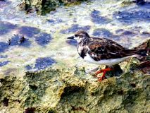 Sea bird standing in a pool of sea water on the beach, dominican republic royalty free stock photography