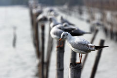 Sea bird. The Sea bird standing on the top of bamboo Stock Images