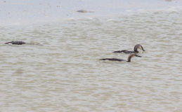 Sea Bird swim on the water Stock Images