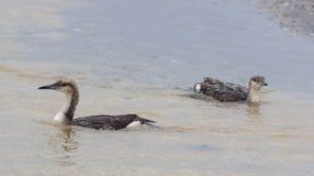 Sea Bird swim on the water Royalty Free Stock Photography