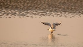 Sea bird taking off at sunset stock image
