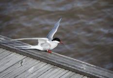 Sea bird - Tern Royalty Free Stock Images